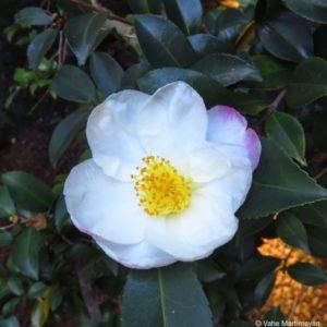 camellia sasanqua Narumigata