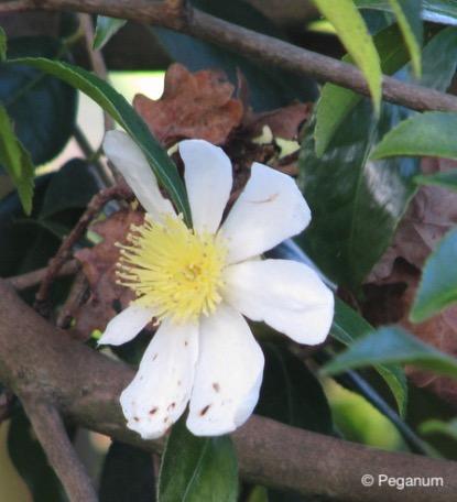 camellia Narumigata