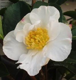 camellia sasanqua orcival