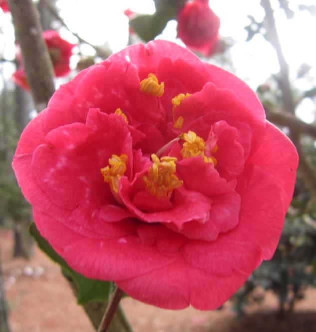 camellia japonica rl wheeler