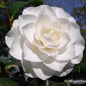 camellia williamsii Sea Foam