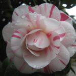 camellia angela cocchi
