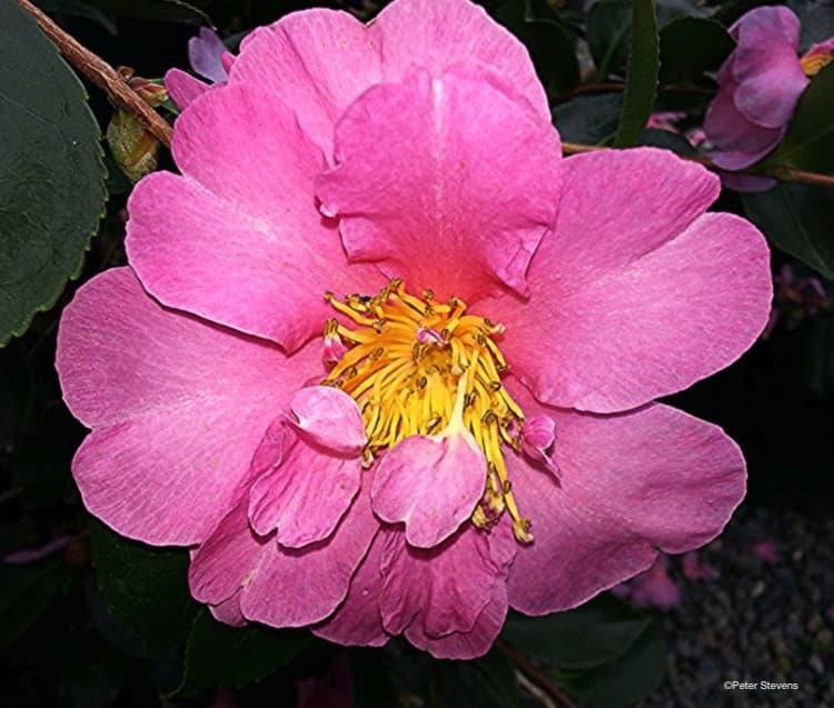 Camellia Sasanqua Showa No Sakae