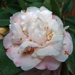 camellia sweet emily kate