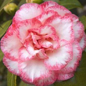 camellia betty's beauty