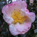 camélia d'automne bicolor
