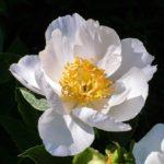 camélia d'automne blanc