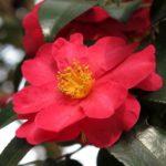 camélia d'automne rouge