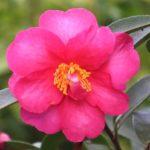 camélia d'automne rose