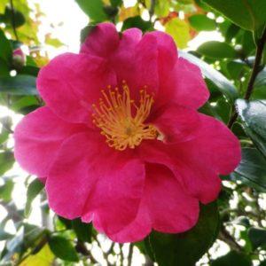 camellia sasanqua paradise illumination