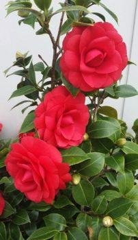 camellia williamsii winter gem