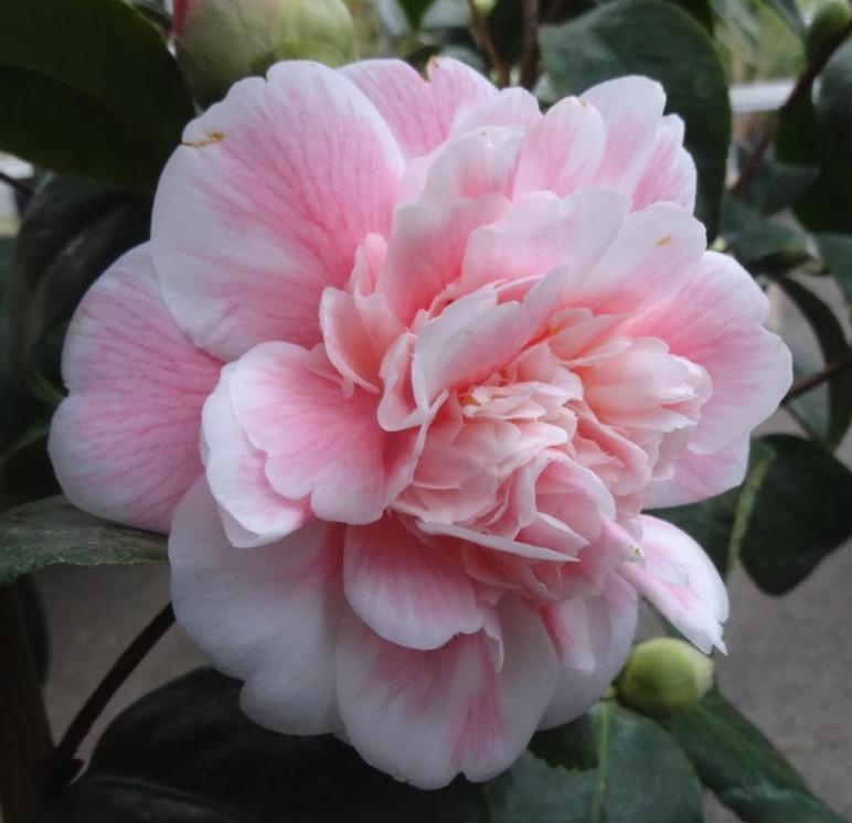 camellia duchesse decazes
