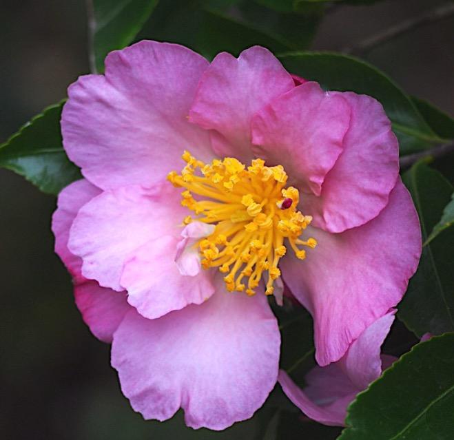 camelia sasanqua plantation pink