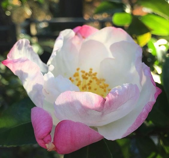 camellia paradise venessa