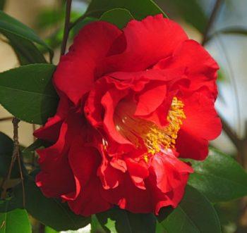 camelia du japon blood of china