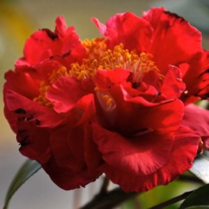 camellia blood of china