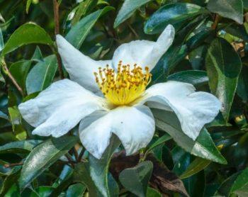 Fleur simple de camélia d'automne