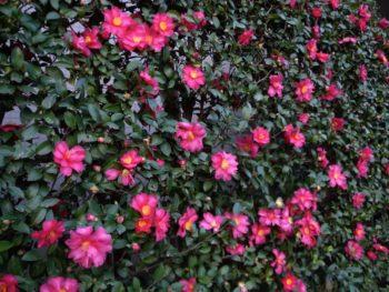 haie de camellia sasanqua
