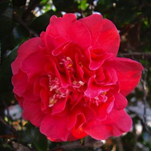 camelia du japon maroon and gold