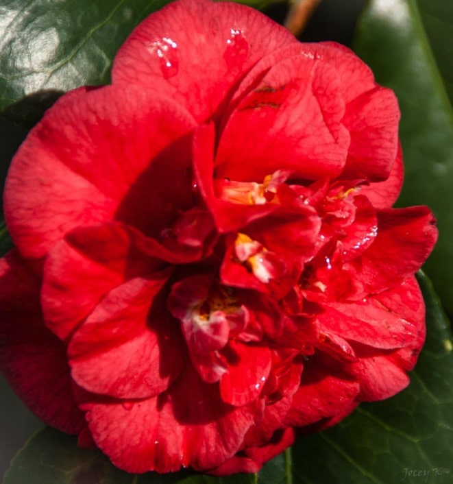 camelia maroon and gold