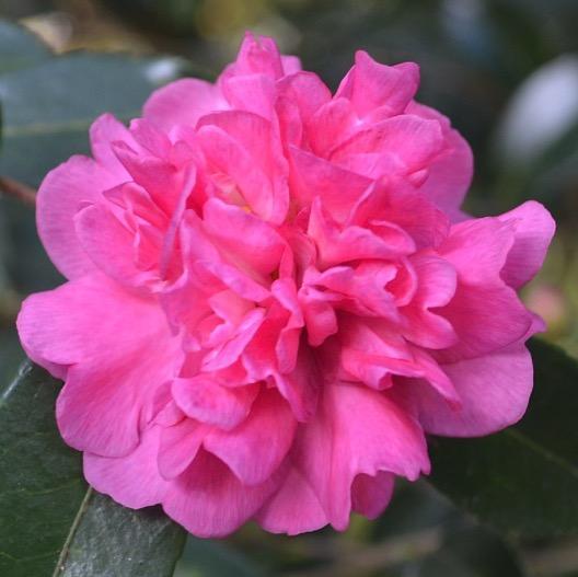 camellia sasanqua paradise caroline