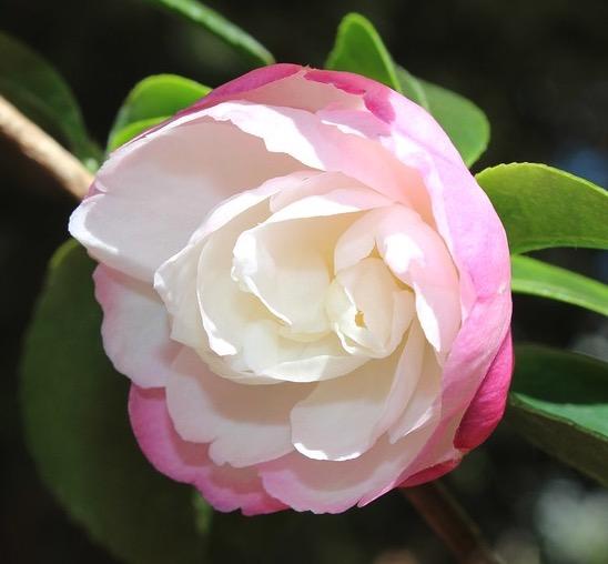 camellia paradise sayaka