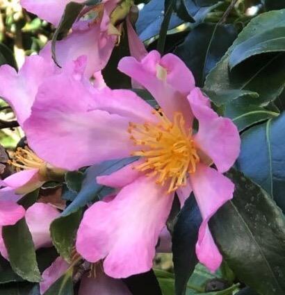 camellia sasanqua totenko