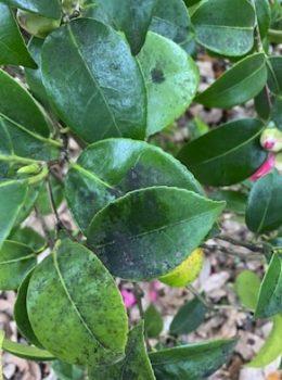 Fumagine feuilles camélia