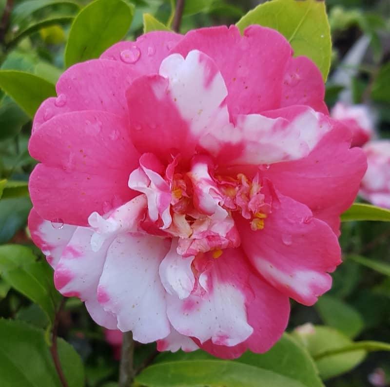 camélia rose tacheté de blanc