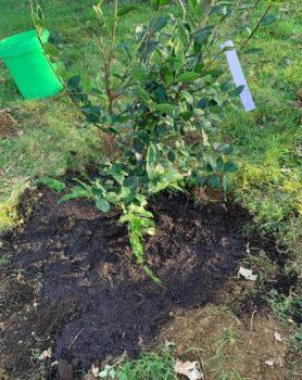 Arrosage après plantation du camélia