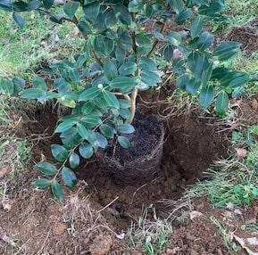Camélia dans le trou de plantation