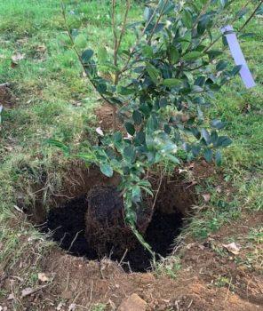 Camélia planté dans le trou