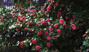 camélia fleurit