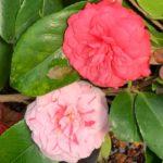 Camélia bicolore à fleur rose et blanche
