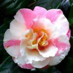 fleur strié rose et blanche