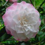 camélia bicolore blanc à bordure rose