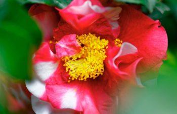 camélia parfumé