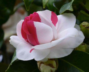 camélia bicolore rose et blanc