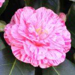 fleur de camélia rose clair avec des stries roses foncé