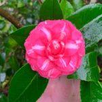 fleur de camélia bicolore rose striée de blanc