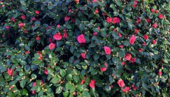 camélia qui fleurit