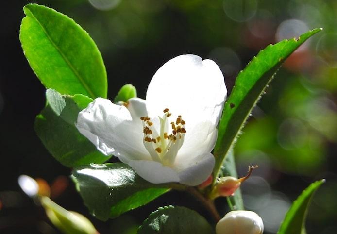 camellia sinensis en fleur