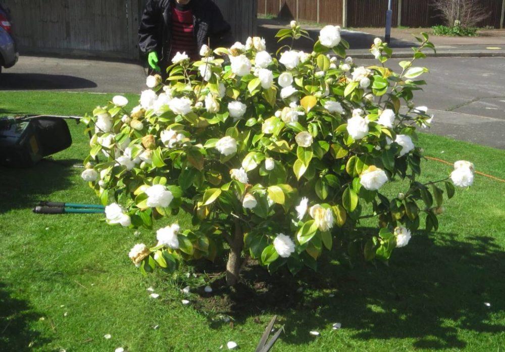 Camélia arbuste