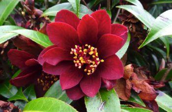 fleur d'un camélia rouge foncé