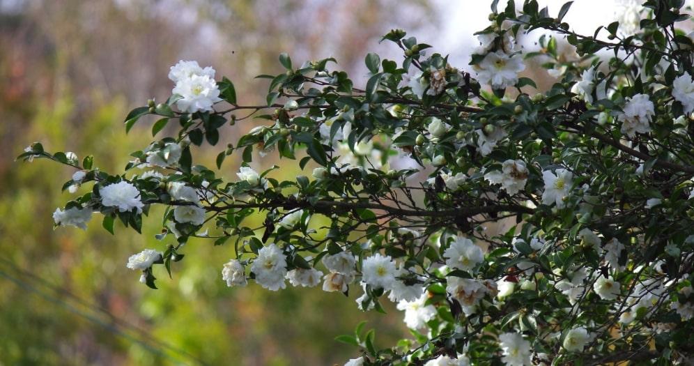 branche camellia sasanqua